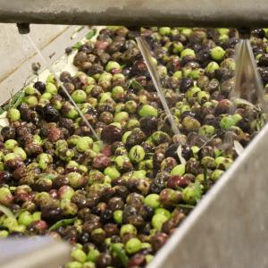 Lavage-des-olives