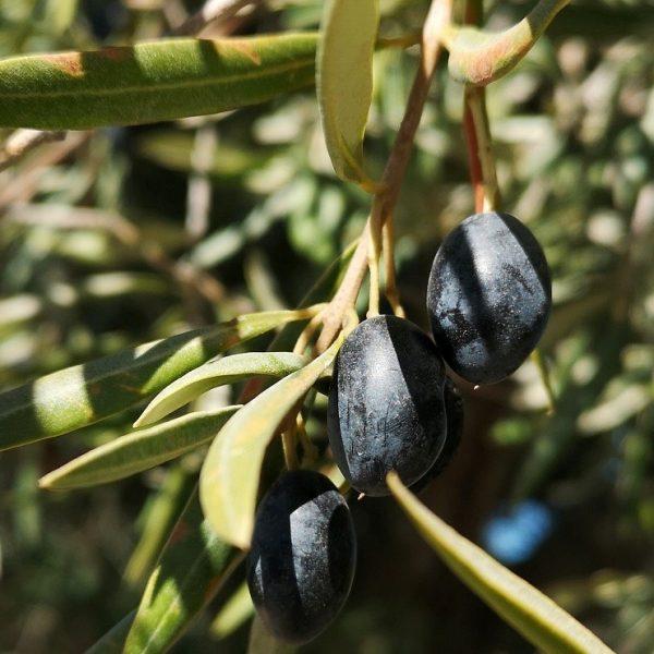Olives de france