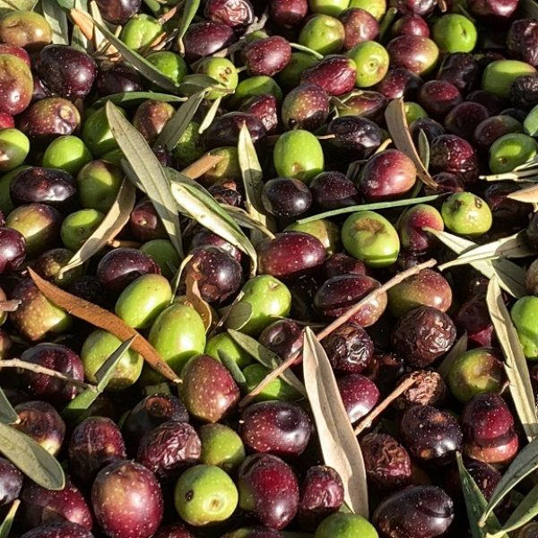olives méditerranéennes 2